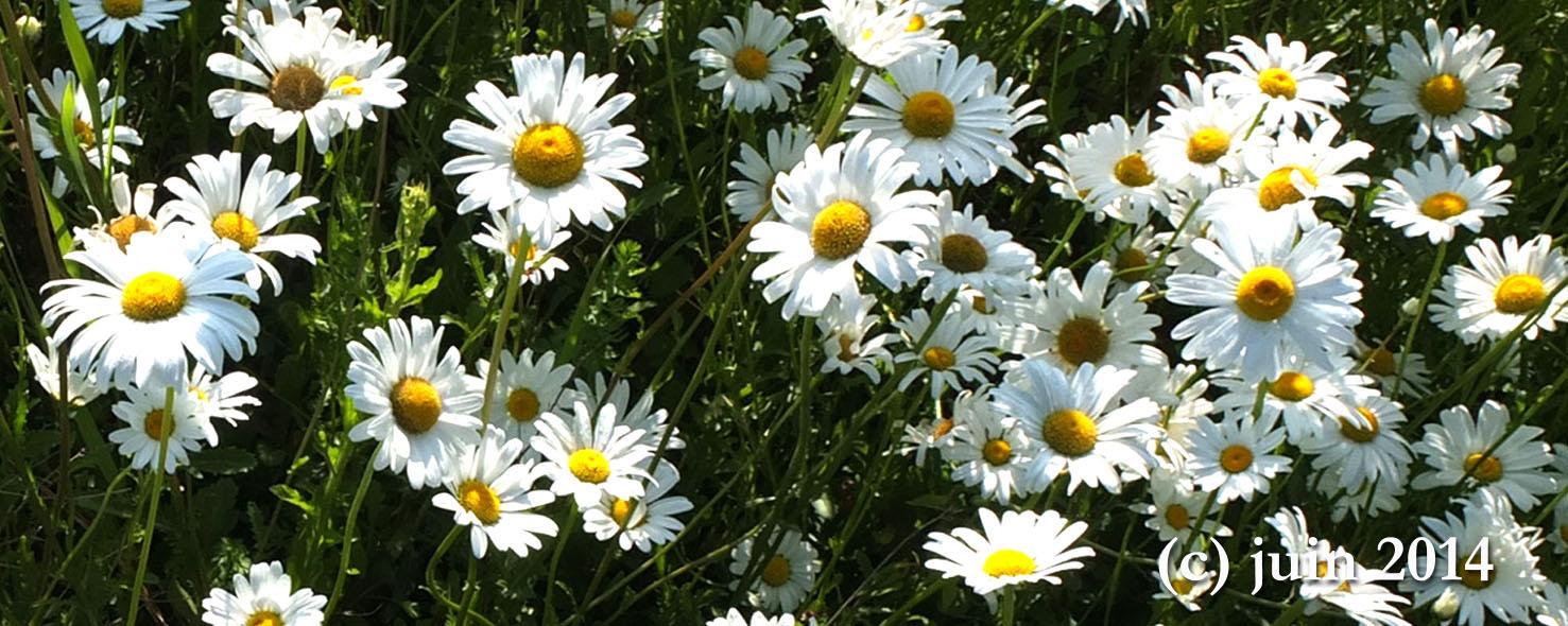 printemps fleur marguerite joli mois de mai