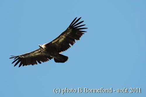 vautour fauve oisans août 2011